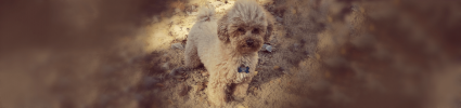 small fluffy dog with sand background