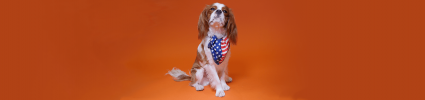 King Charles cavalier with patriotic bandana sitting on orange background