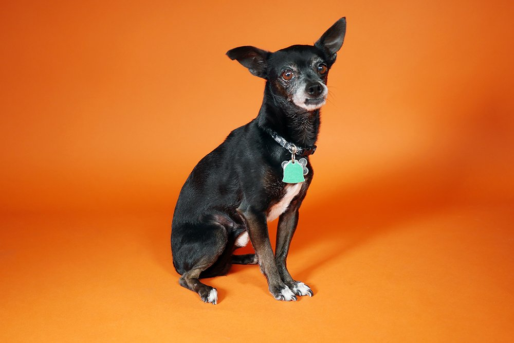 Chipper the pup on orange background