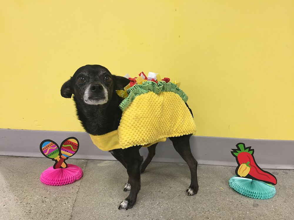 Chipper the pup dressed as a taco