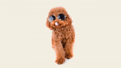 Brown puppy wearing glasses