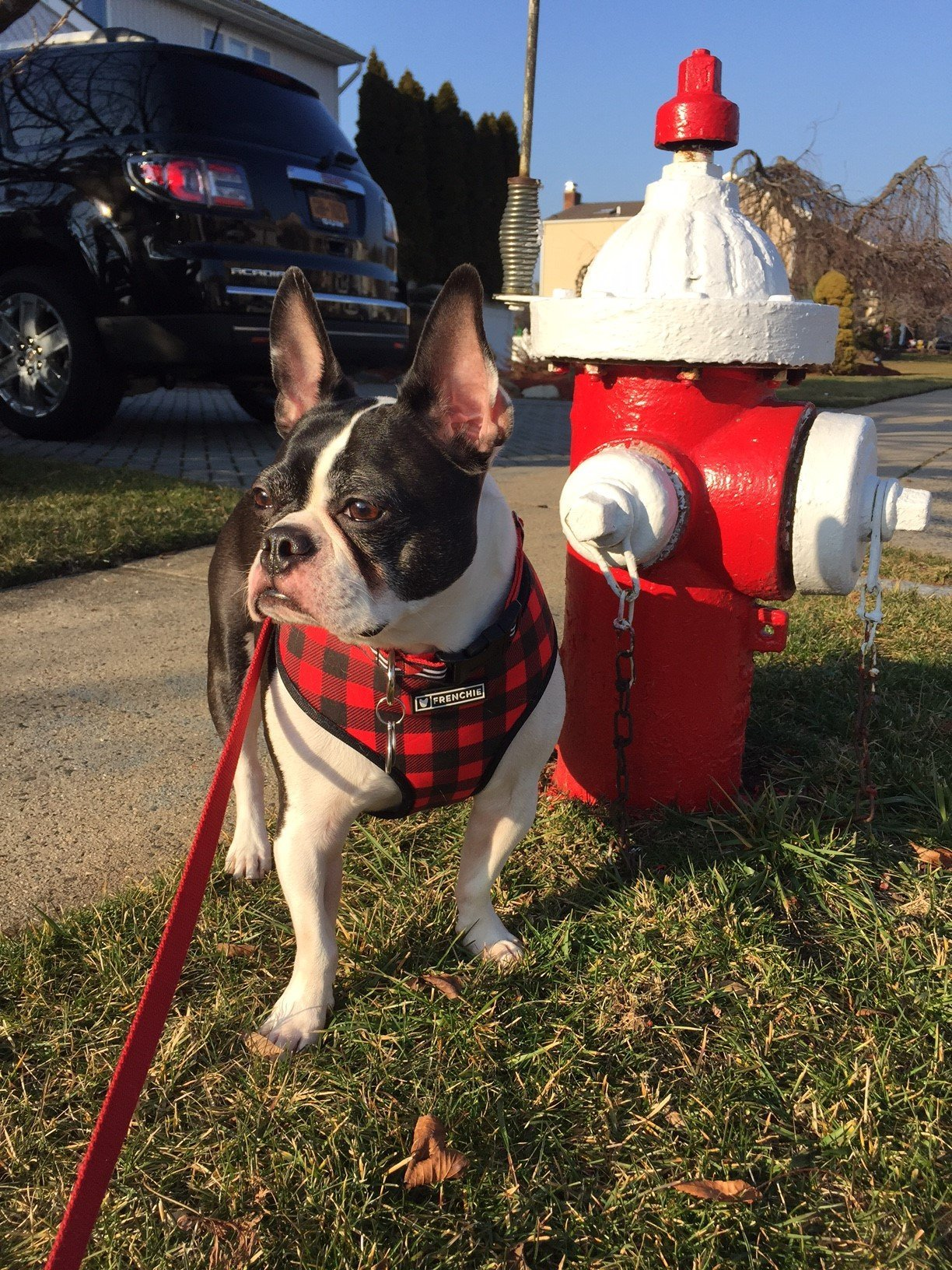Tucker the pup standing next to a fire hidrant