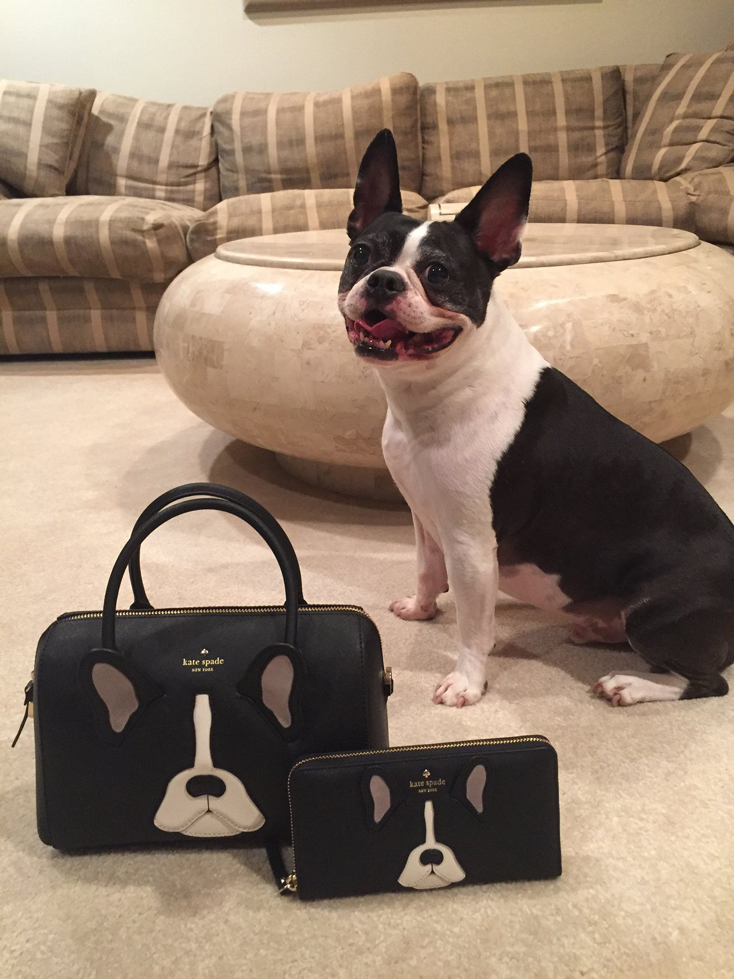 Tucker the Frenchton pup next to Kate Spade handbags