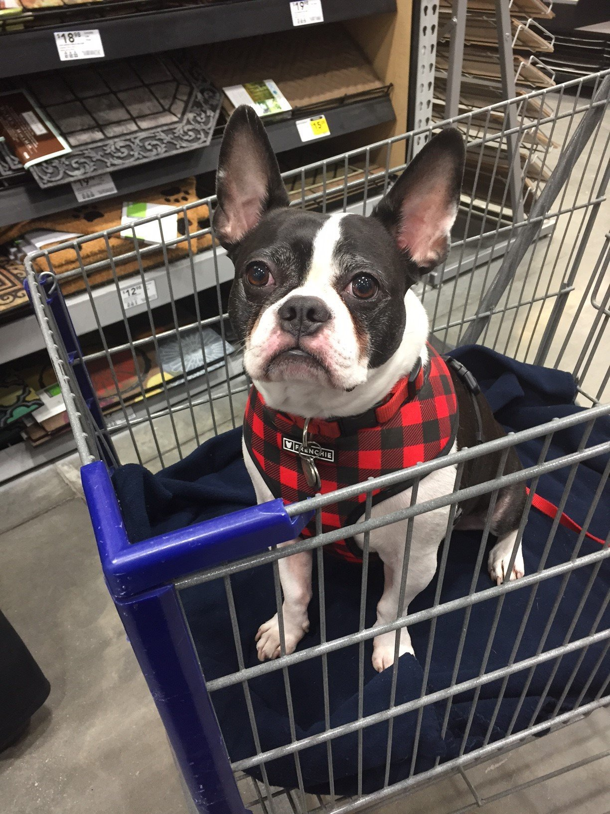 Tucker the pup riding in a shopping cart