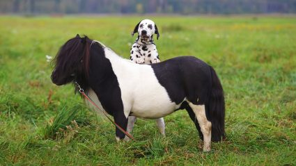 Dalmatian dog leaning on a pony