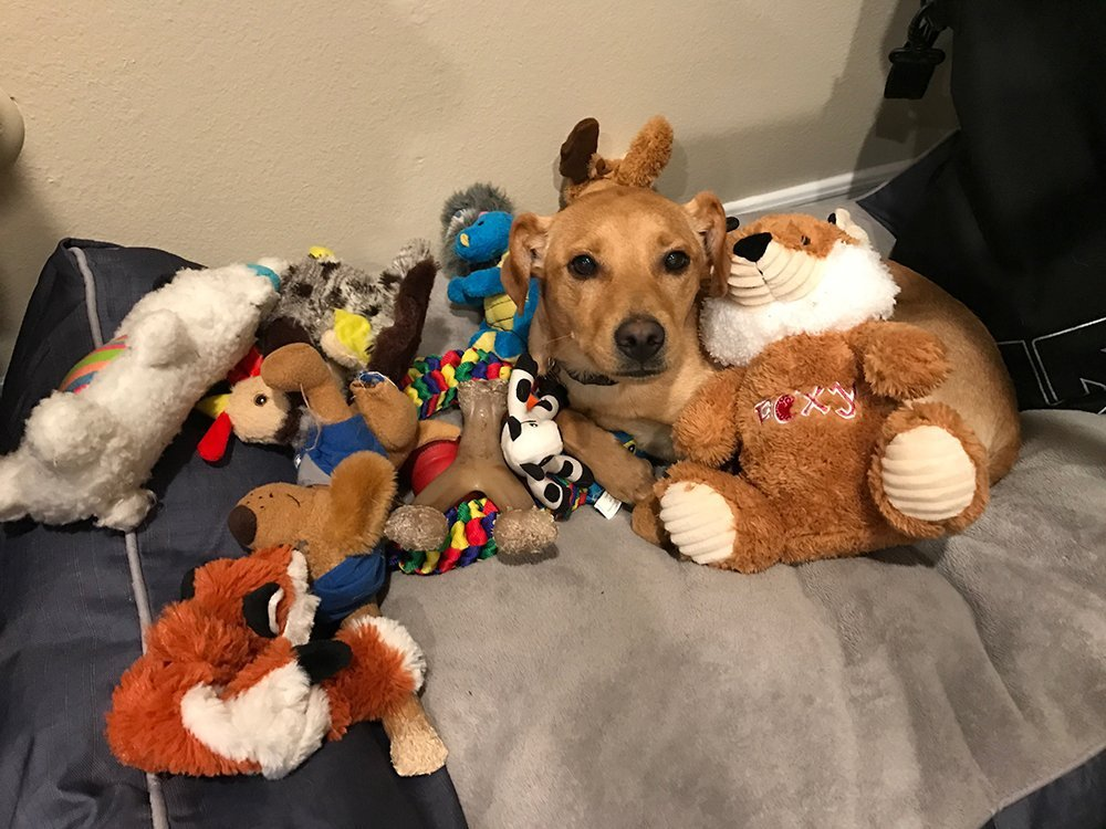 Miniature Pinscher mix sitting in dig bed with toys