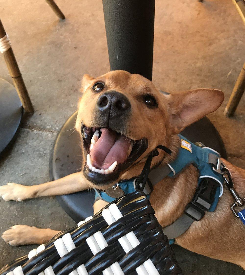 Miniature Pinscher mix dog smiling at camera