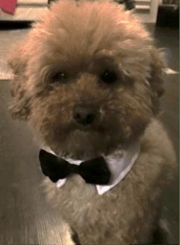 Poodle/Bichon Frise looking at camera