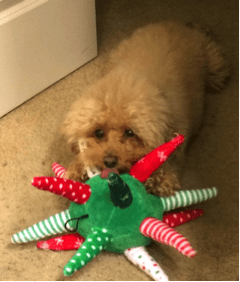 Poodle/Bichon Frise chewing a playtoy