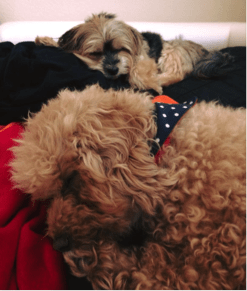Poodle/Bichon Frise sleeping with another dog