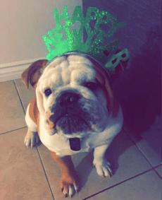 English Bulldog wearing hat