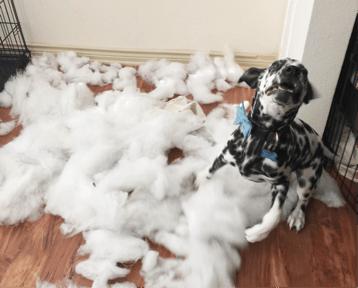 Dalmatian making a mess of pillow stuffing