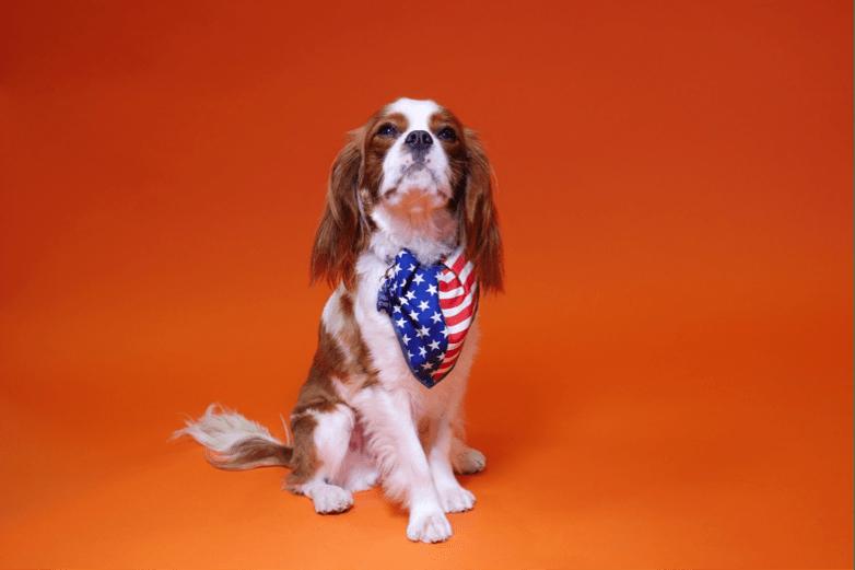 dog charlie sitting wearing american flag bandana
