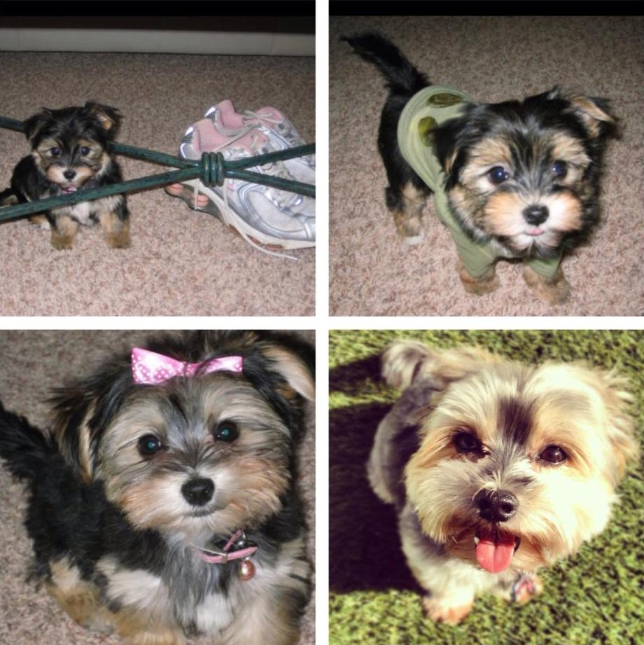 Chloie a yorkie maltese puppy