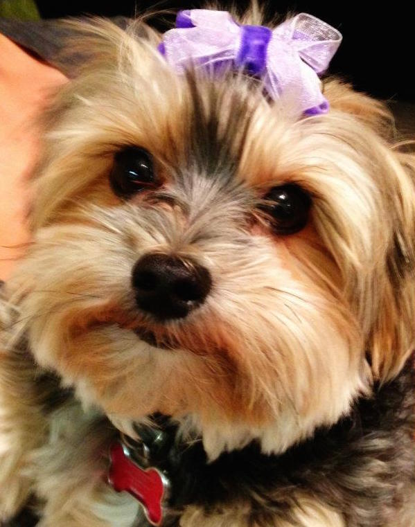 Chloie the pup wearing a purple bow