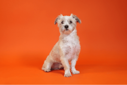 A white mixed breed dog named Dave