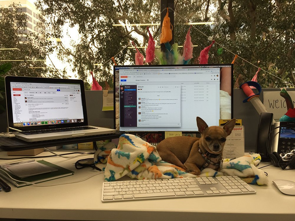 Chihuahua sitting next to computer on desk
