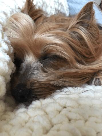 Yorkshire Terrier sleeping