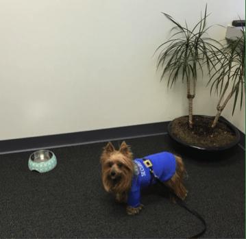 Yorkshire Terrier wearing vest