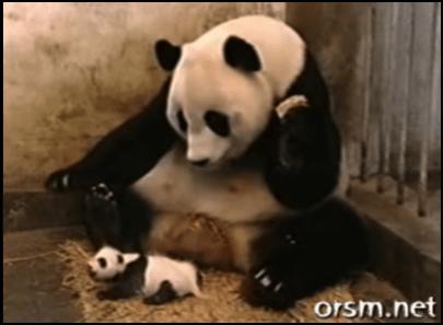 Mama panda and her baby cub